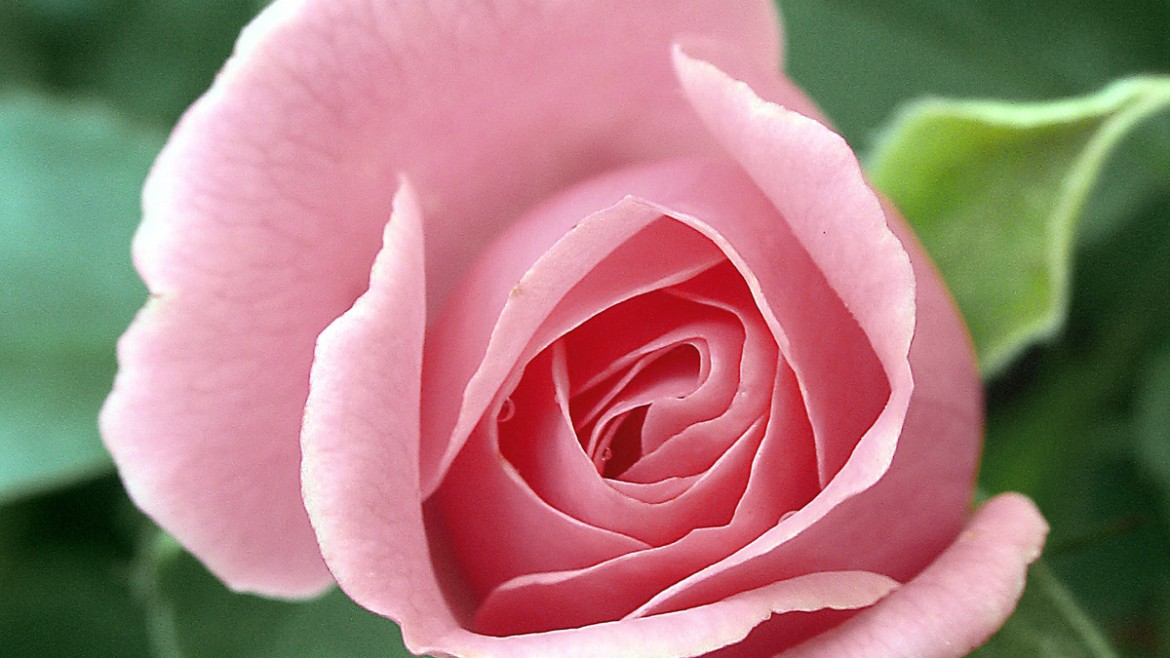 Types of Roses: A Visual Compendium